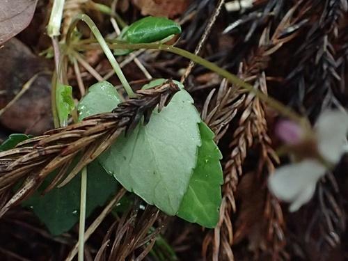 ヒメミヤマスミレ葉裏緑