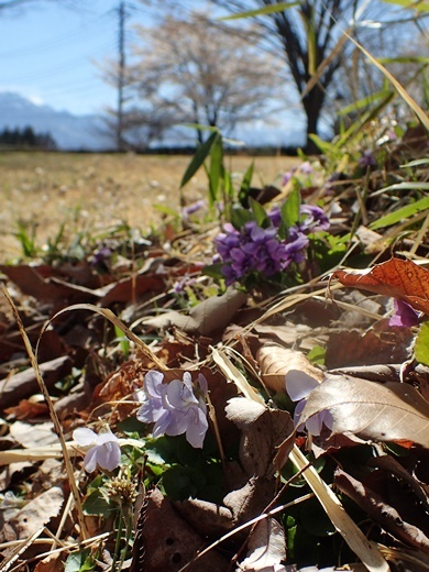 190416084tatitubo-akane-sakura.jpg